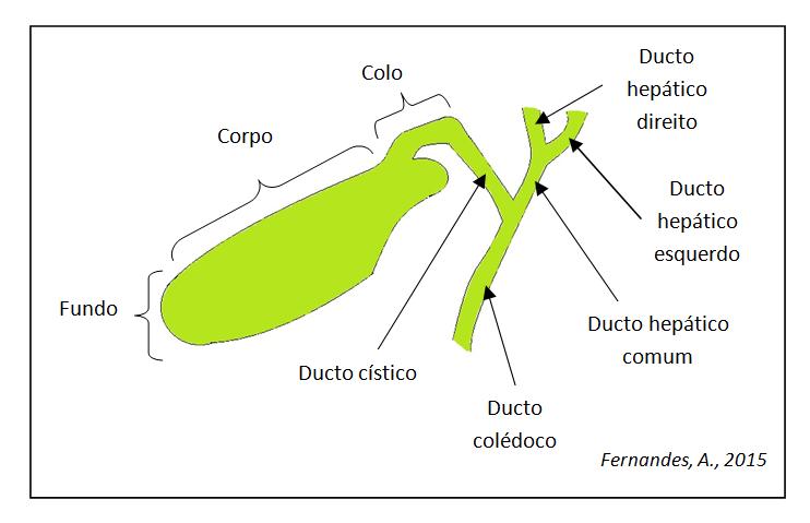 Vesícula biliar - Knoow