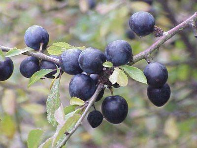 Prunus_spinosa