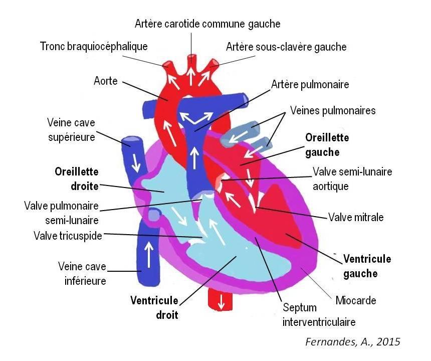 schema du coeur avec circulation sanguine