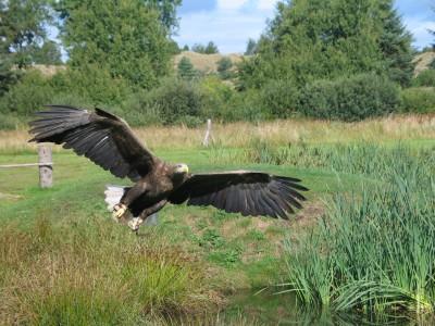 Eagle_In_Flight_2004-09-01