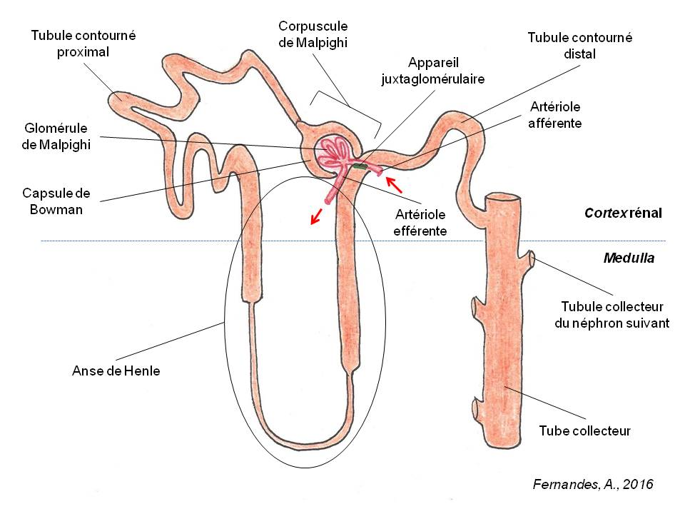 Hd Wallpapers Nephron Simple Diagram Wallpaper Androidoxzdd