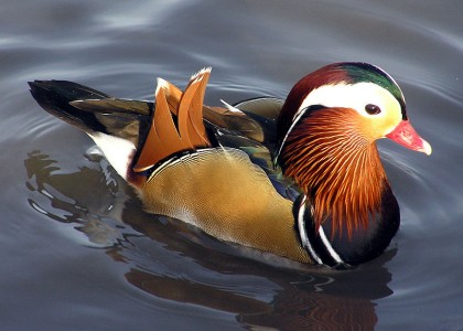 800px-Mandarin.duck.arp