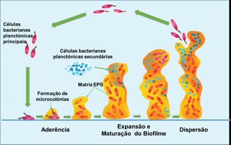 Etapas de formação de um biofilme. Adaptado de Tremblay et.al., 2014.