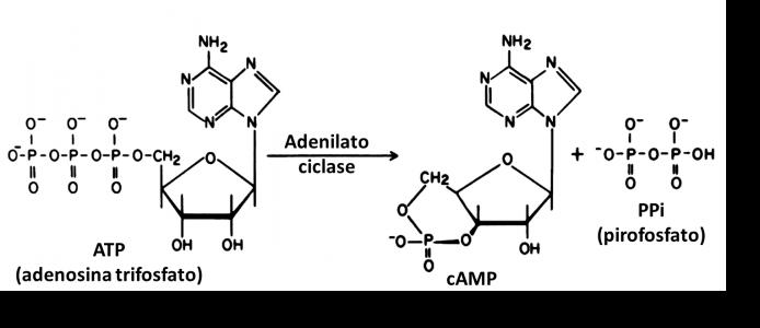Figura 1 – Conversão do ATP em cAMP catalisada pela adenilato ciclase. Adaptado de Steer (1975).