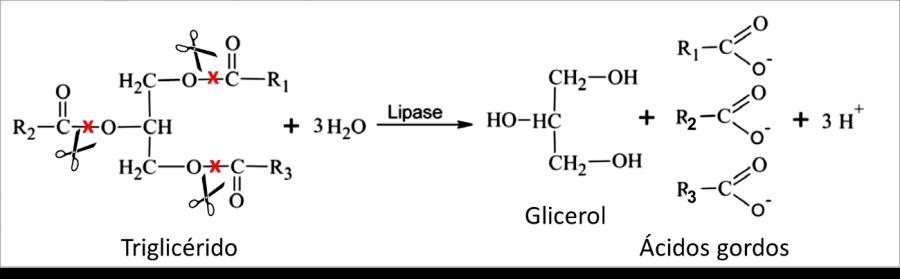 Resultado de imagem para reação catalisada por lipases de tecido adiposo
