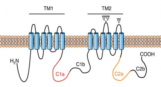 Figura 2 – Estrutura da adenilato ciclase. Adaptado de Willoughby & Cooper (2007).