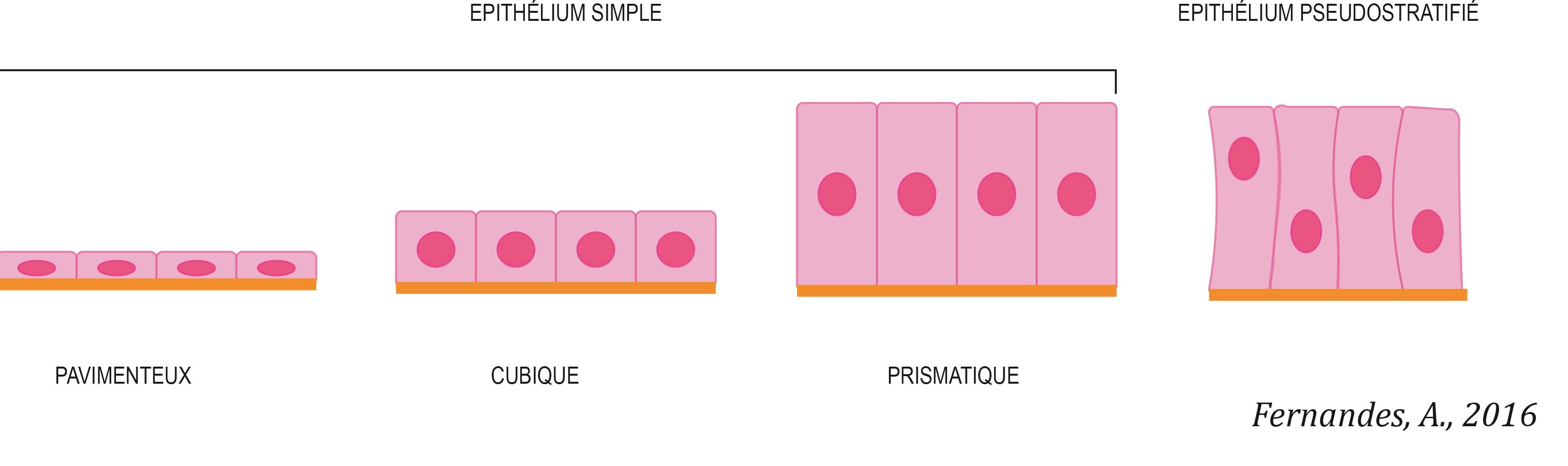 epitelio-simples-fr