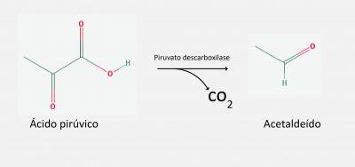 acido-piruvico-acetaldeido
