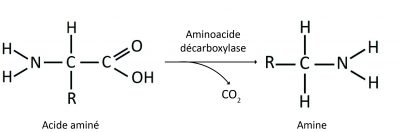 aminoacidos-descarboxfr
