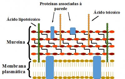 Figura 1- Esquema ilustrativo da parede celular das células Gram-positivas. Observa-se a camada de mureína tipicamente espessa, as proteínas e os ácidos teicoicos ancorados na mureína e o ácido lipoteicóico ancorado na membrana plasmática.