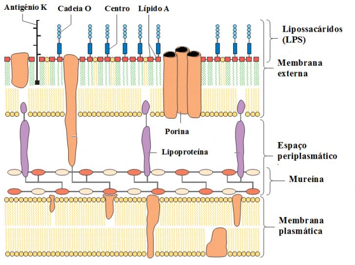 Figura 1 – Parede celular das bactérias Gram-negativas. É mostrado a característica camada fina de mureína e a membrana externa conectada a ela por lipoproteínas. Muitas proteínas diferentes são localizadas na membrana externa, inclusive as porinas que são canais hidrofílicos. A camada externa da membrana externa é composta por complexos de lipopolissacarídeos. Adaptado de Kayser et al., 2004.