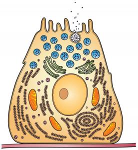 Figura 1 – Imagem ilustrativa de uma célula com vesículas secretórias (organelos a azul), estando uma vesícula fundida com a membrana plasmática e a ocorrer libertação do seu conteúdo para o meio extra-celular.