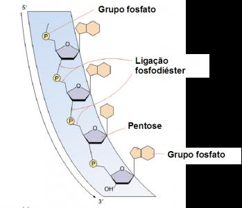 Figura 2 – Estrutura molecular de uma cadeia polinucleotídica. Adaptado de Raver & Johnson, 2002.