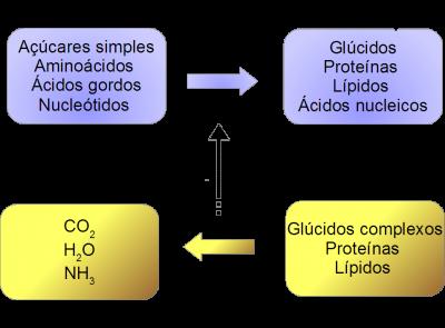 Figura 1 – Interdependência entre as vias de reações anabólicas e catabólicas. As reações catabólicas libertam energia na forma de moléculas de ATP e de NAD(P)H que são usadas nas vias anabólicas.