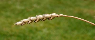 Figura 1 – Uma espiga de espelta