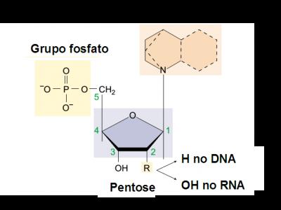 Figura 1 – Estrutura química de um nucleótido. São visíveis três componentes: o açúcar de 5 carbonos (pentose), a base azotada e o grupo fosfato. Adaptado de Raver & Johnson, 2002.