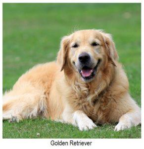 grupo golden-retriever