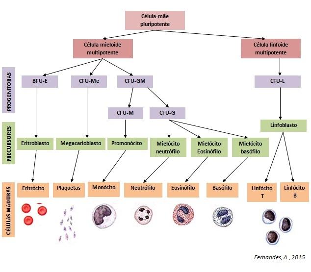 Fig.1. Esquema ilustrativo resumido da diferenciação hematopoiética (BFU-E: Unidade formadora de blastos eritroides, CFU-Me: Unidade formadora de colónia megacariocítica; CFU-GM: CFU granulomonocítica; CFU-M: CFU monocítica; CFU-G: CFU granulocítica; CFU-L: CFU linfocítica).