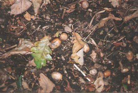 Bolotas e folhas de Quercus
