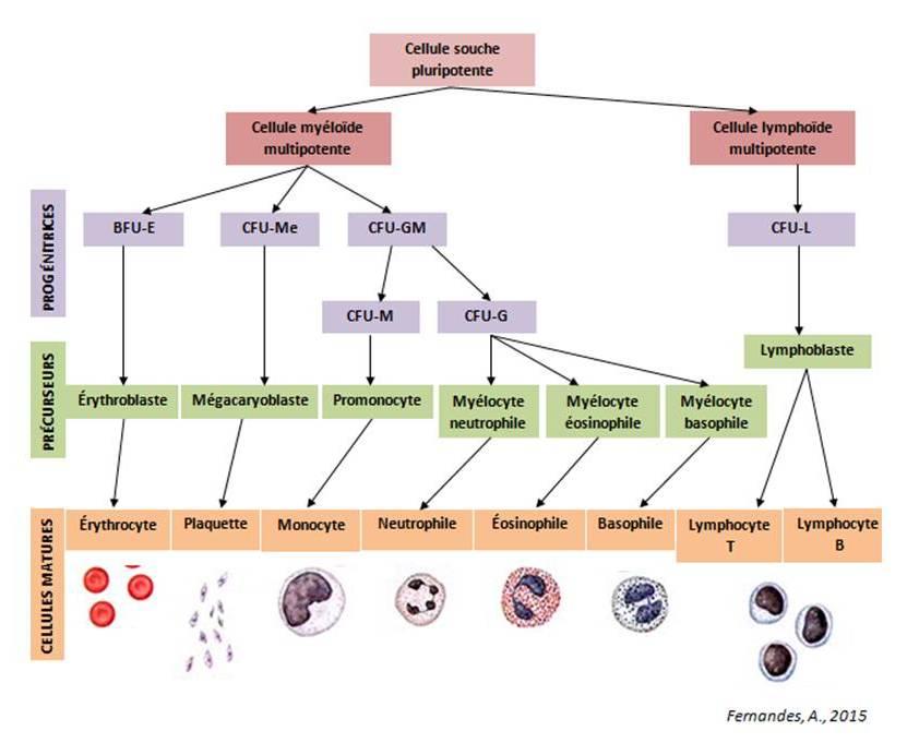 Fig.1.  Schéma illustratif simplifié de la différentiation hématopoïétique (BFU-E: Unité formatrice de blastes d'érythrocytes; CFU-Me: Unité formatrice de colonies  mégacaryocytaire; CFU-GM: CFU granulomonocytaire; CFU-M: CFU de monocytaire; CFU-G: CFU granulocytaire; CFU-L: CFU lymphocytaire).