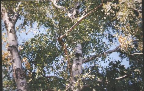 Betula alva