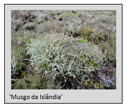 cetraria-islango-da-islandia-02