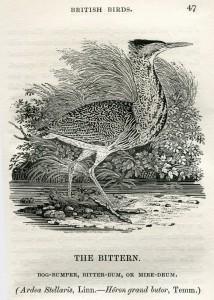 The_Bittern_Thomas_Bewick_1804