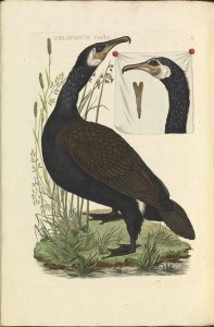 Nederlandsche_vogelen_(KB)_-_Phalacrocorax_carbo_(088b)