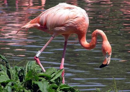 800px-Caribbean_Flamingo