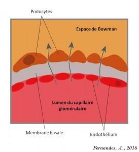 Barreira de Filtração GlomerularFR