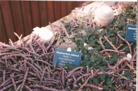 Euphorbia spp.