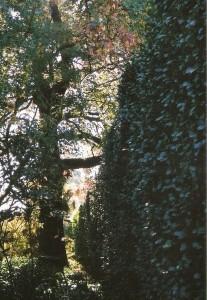 Buxo no Jardim Botânico do Porto
