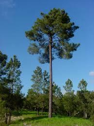 pinheiro-bravo1