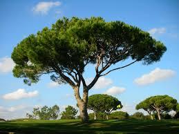 pinheiro-manso1