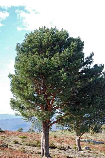 pinheiro-silvestre1