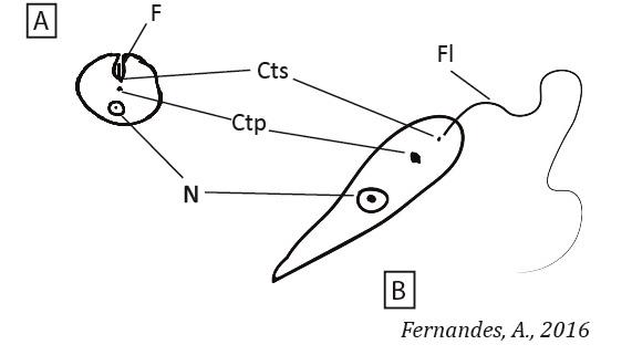 Formas LeishmaniaPT
