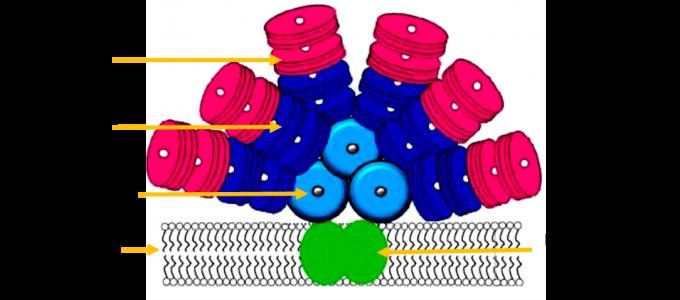 Figura 2 - Estrutura de um Ficobilissoma. Adaptado de Sonani et al. (2016).