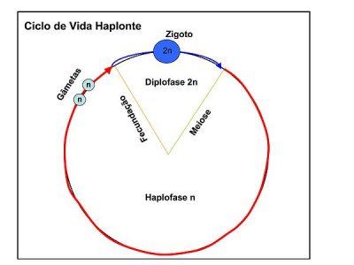 Ciclo de vida haplonte. Fonte: Wikiciencias