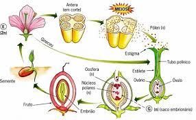 Ciclo de vida de uma angiospérmica. Fonte: Editora Saraiva