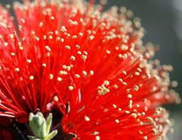 Myrtaceae