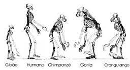 Os esqueletos de diferentes tipos de hominídeos