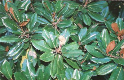 Membro do clado Magnoliidea