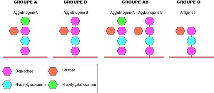 AglutinogénioFR