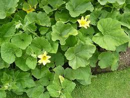 Cucurbitaceae, família