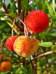 Medronho: fruto do Arbutus unedo