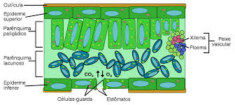 Tecidos vegetais: folha
