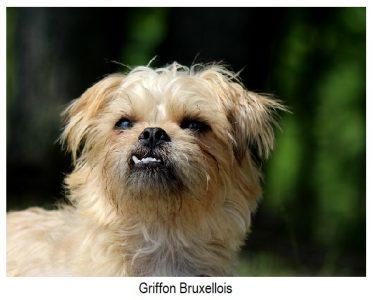 Griffon bruxellois