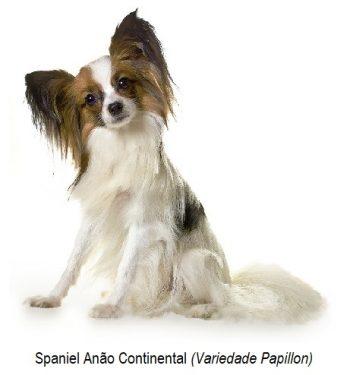 Spaniel anão continental