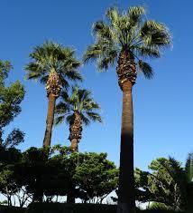 Palmeira, família Arecaceae