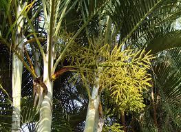 Arecaceae, família